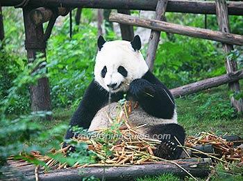 gaint-panda.jpg